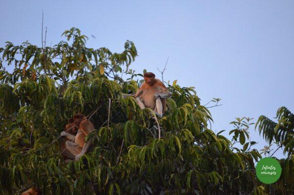 Monos narigudos en Tanjung Puting Java y Borneo