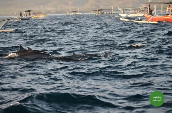 Delfines en Lovina norte de Bali