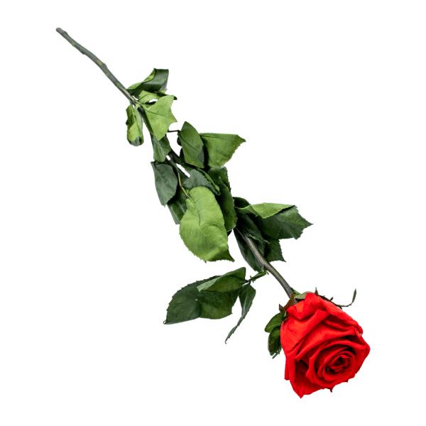 Stem Rose einzeln