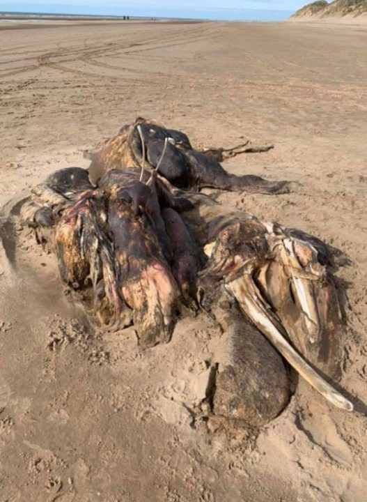 Ainsdale Anomaly :Unidentified 15 feet long creature found dead on a beach near Liverpool