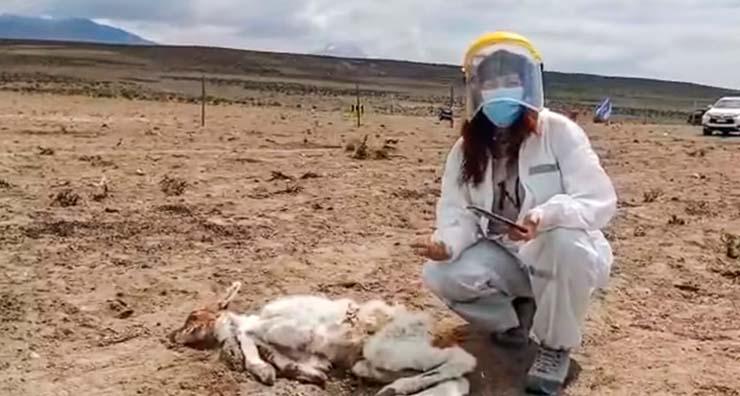Андреа Ньето, местный ветеринар осматривает место