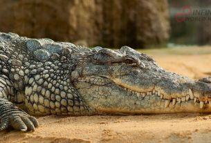Tremendous Crocodiles 'Deinosuchuas' with Banana-sized Teeth Terrorized Dinosaurs Millions of Years Ago