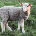 lamb-1335486_640