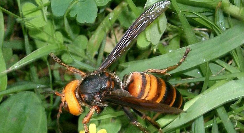 Le Vespa mandarinia décime les ruches et son venin est mortel pour l'homme.