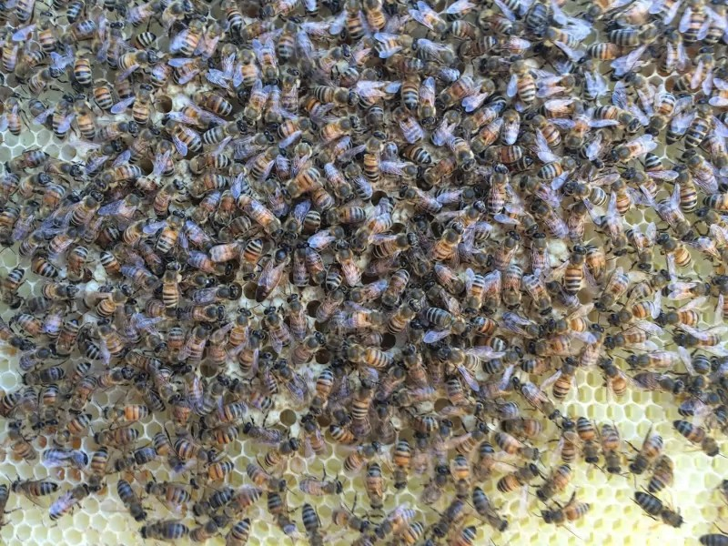 Dark Queen Bee on Capped Brood during Inspection