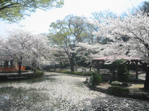 Honjo cherry blossoms Kaizumi Park