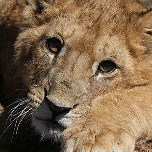 Löwenpatenschaft verschenken