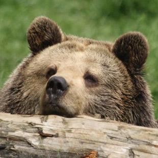 Bärenpatenschaft verschenken