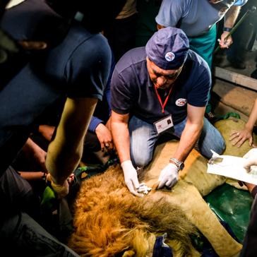 Dr. Khalil untersucht einen der Löwen.