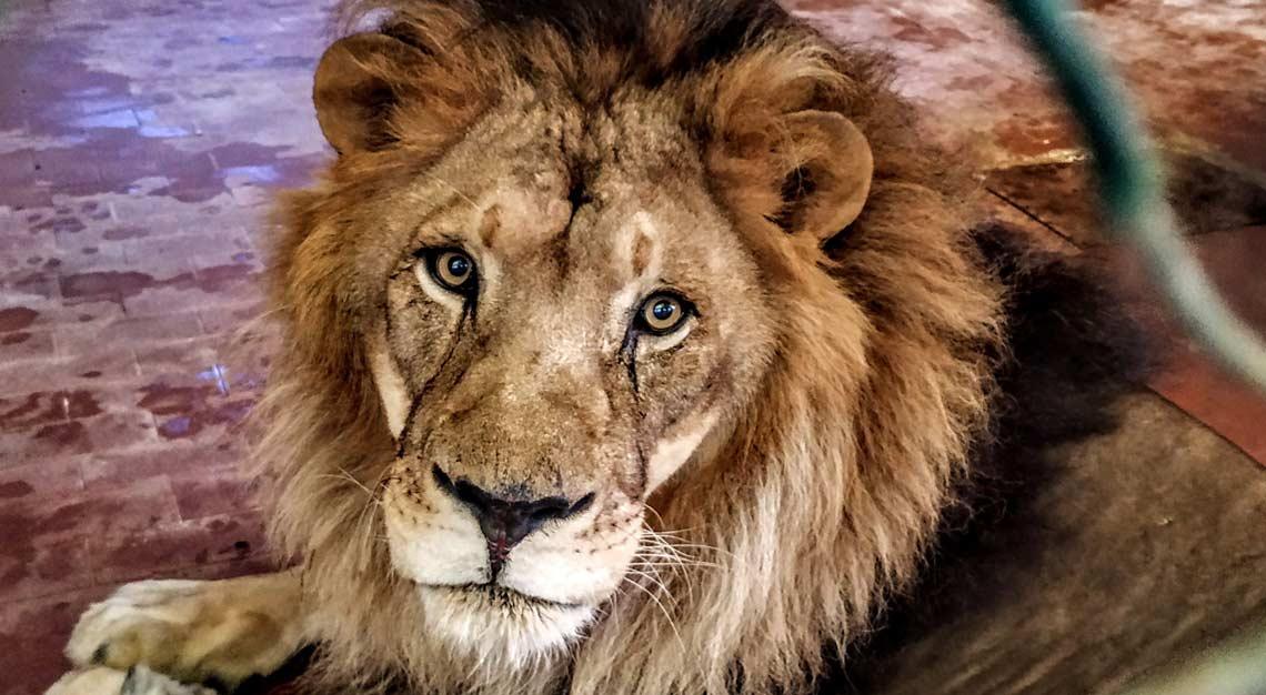 Die drei geretteten Löwen sind vorübergehend im Zoo Tirana untergebracht.