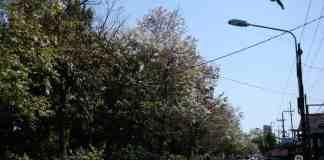 Bunga TBungur Putih bermekaran di Kota Blitar. Dokumen istimewa InfoBlitar