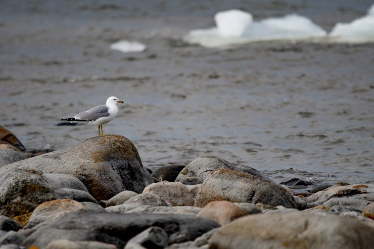 rocks and gull.jpg