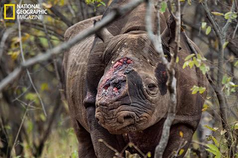 rinoceronte ferito da bracconieri