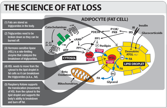 Losing Weight With Raspberry Ketone Extract