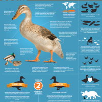Facts about Ducks
