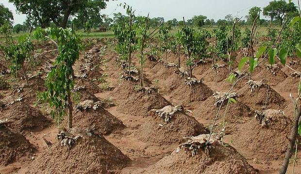 How to plant yam in Nigeria
