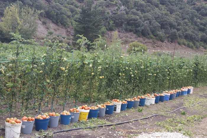 """Carlos Martínez, agricultor lebaniego: """"En agosto los tomates son más gordos y tienen un sabor espectacular"""""""