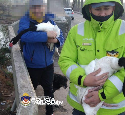 Policías salvaron a dos Cisnes de Cuello Negro