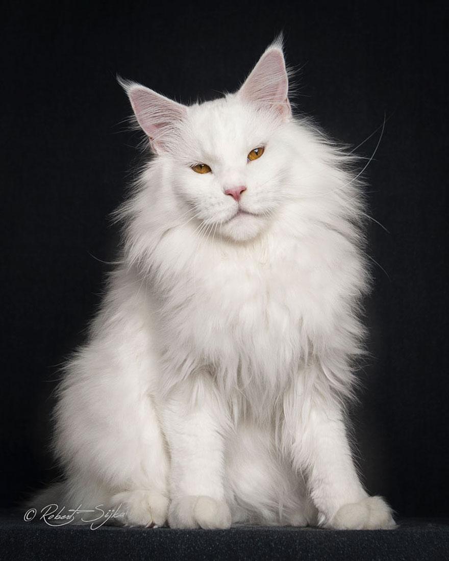 maine-coon-cat-photography-robert-sijka_10
