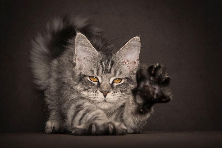 maine-coon-cat-photography-robert-sijka_15