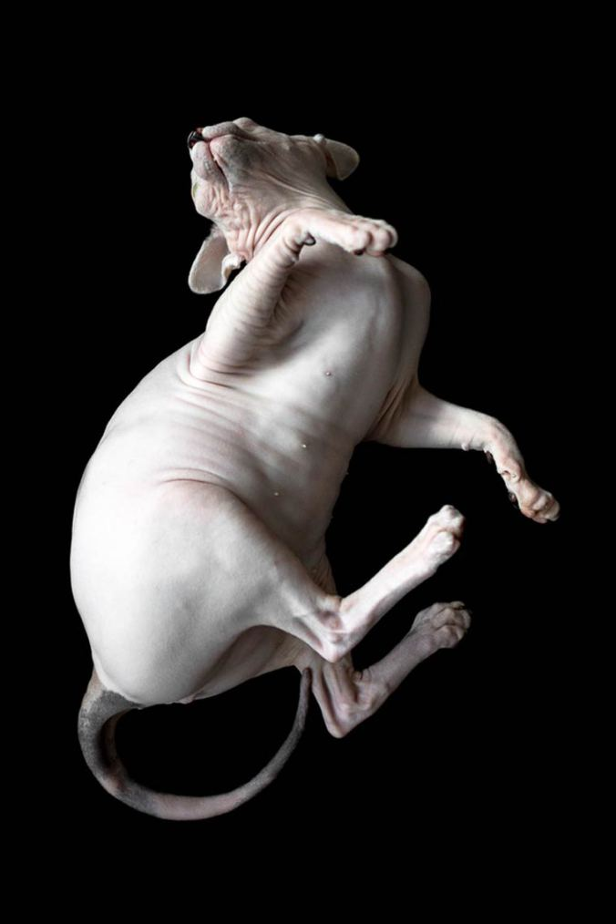 hairless-sphynx-cats-07