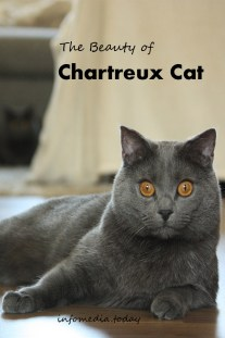 The Beauty of Chartreux Cat
