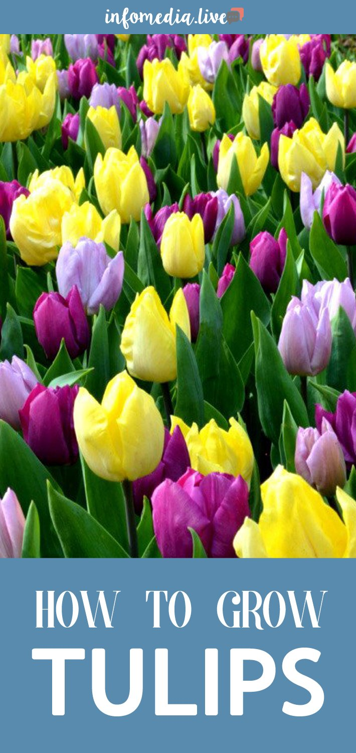How To Plant, Grow & Care For Tulips