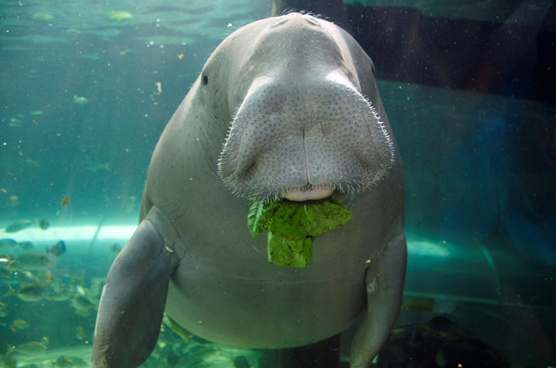 Plights of The Dugong: Why Kenya's Dugongs are under Threat