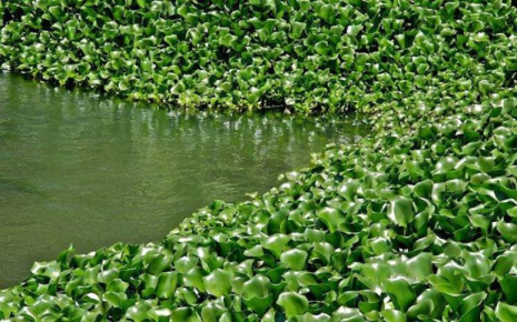 Water hyacinth, a threat to Lake Tana