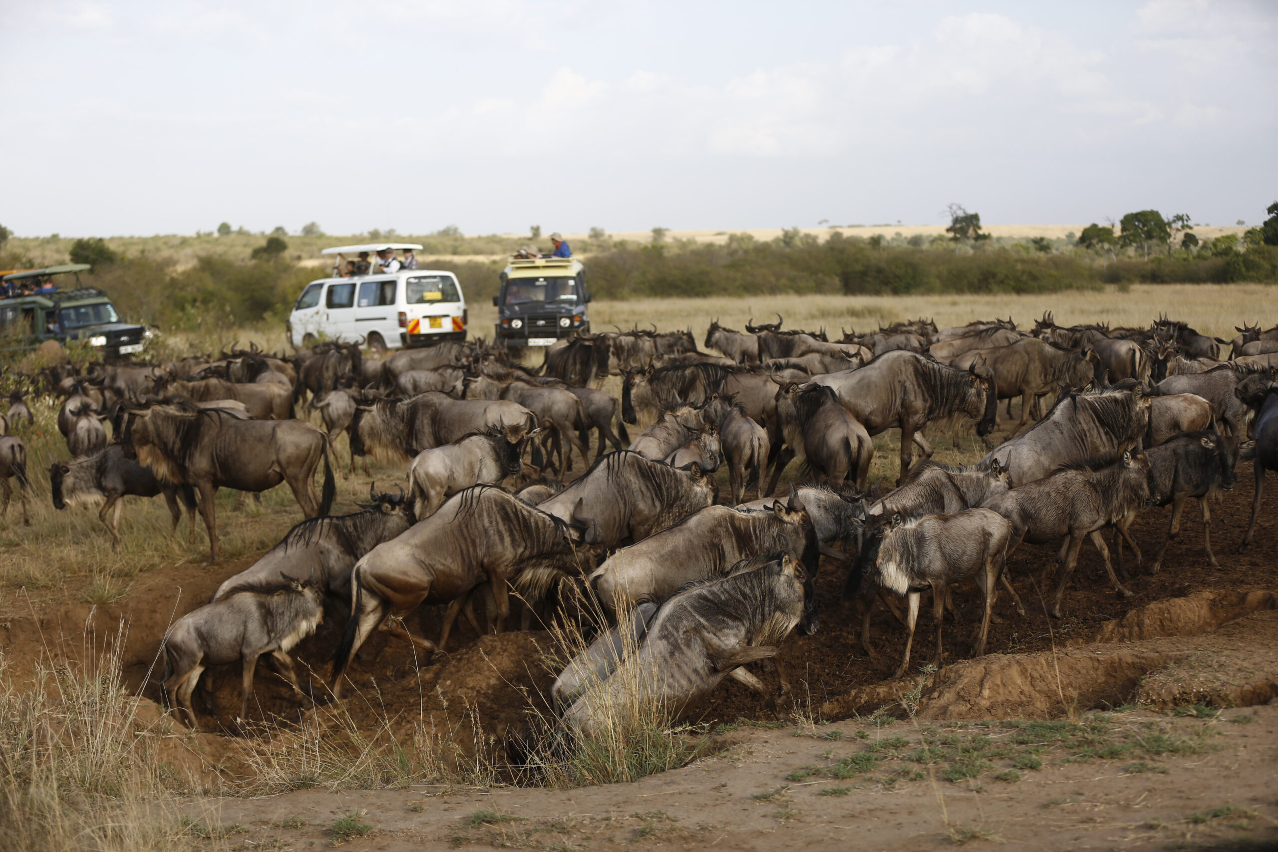 wildebeest migration kenya
