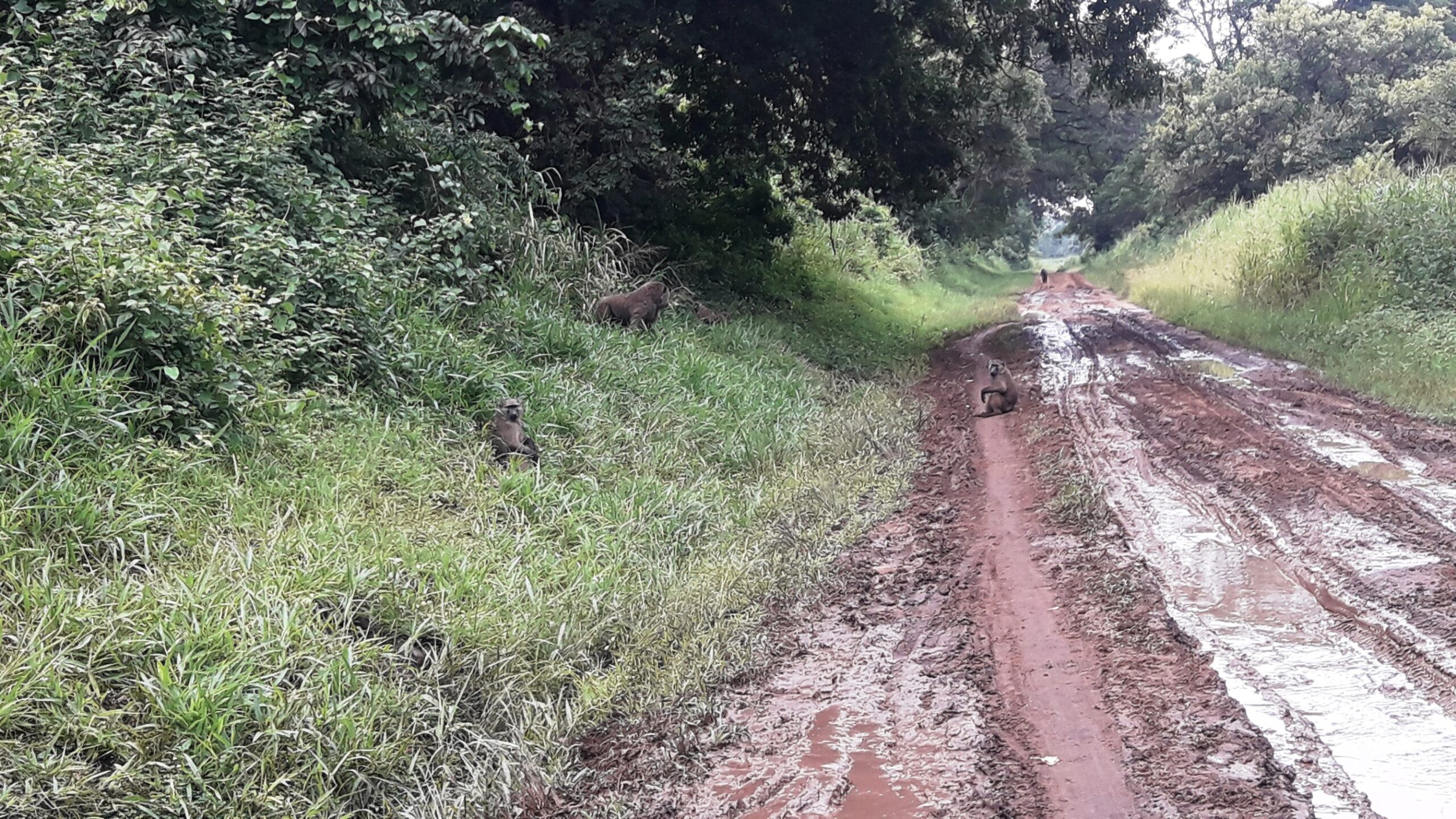 Baboons in Ajai Wildlife Reserve, Uganda