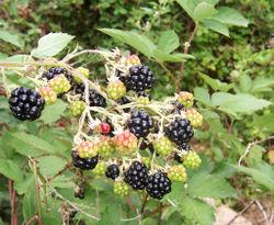 how to start walking - image blackberry in nature