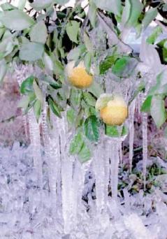 global warming leugen - bevroren appelsienen in Florida.