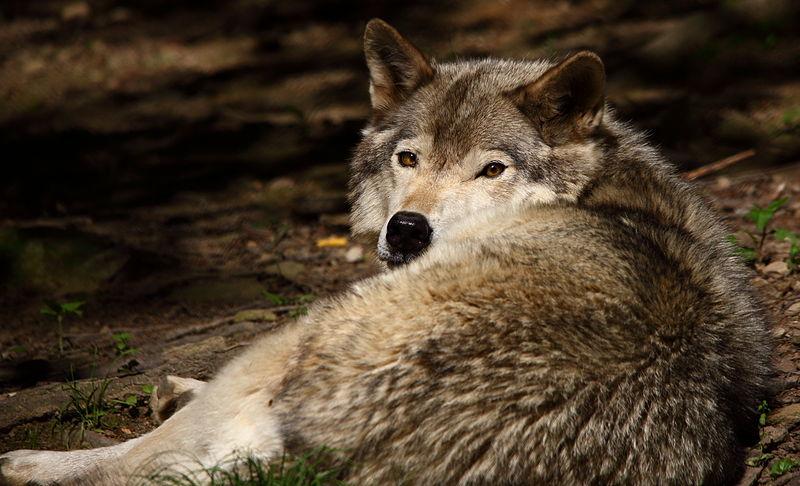 Grey Wolves Blog
