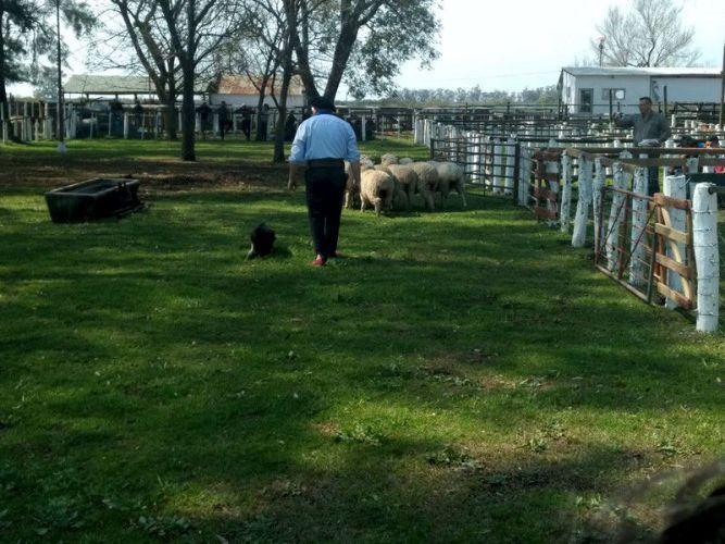 Competencia con ovinos Sociedad Rural de Curuzú Cuatiá