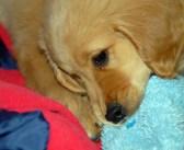 Jak vést štěně k čistotnosti