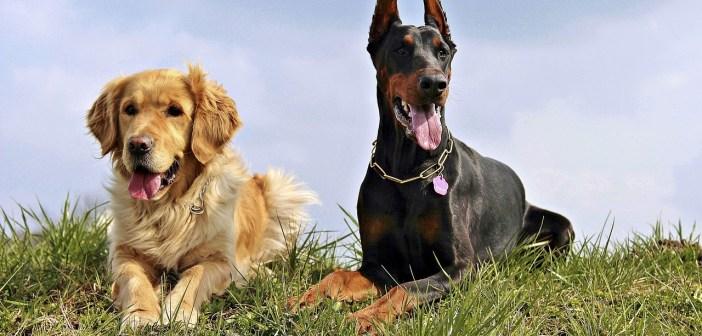 Dobrman a jeho  vztahy s ostatními zvířaty