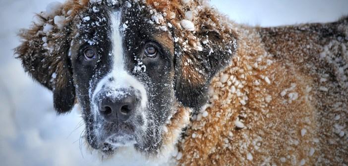 Štěně bernardýna už si také oblíbilo sníh