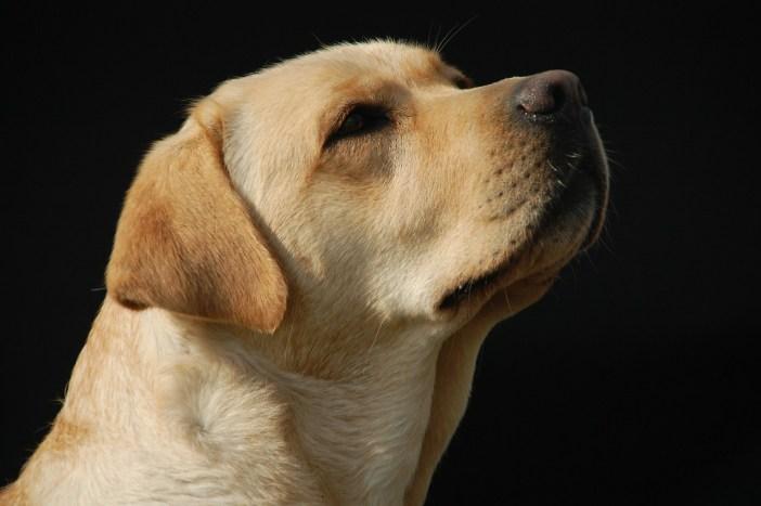 Psi mají oproti fenám charakterističtější rysy