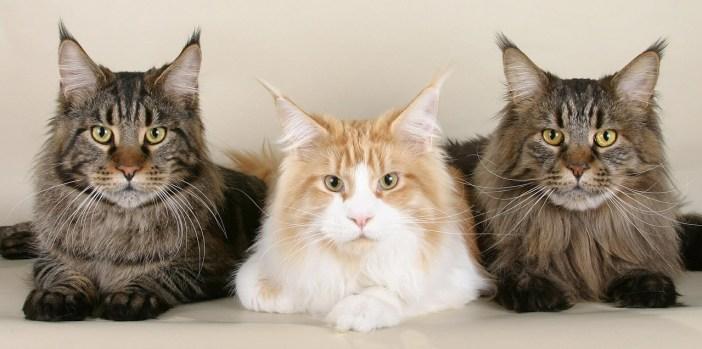 Mainské mývalí kočky se vyznačují výraznými štětičkami na uších