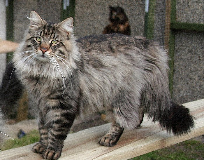 Norská lesní kočka má impozantní vzhled