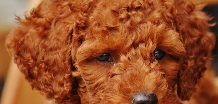 Pudl - veselý, společenský  a nekonfliktní pes