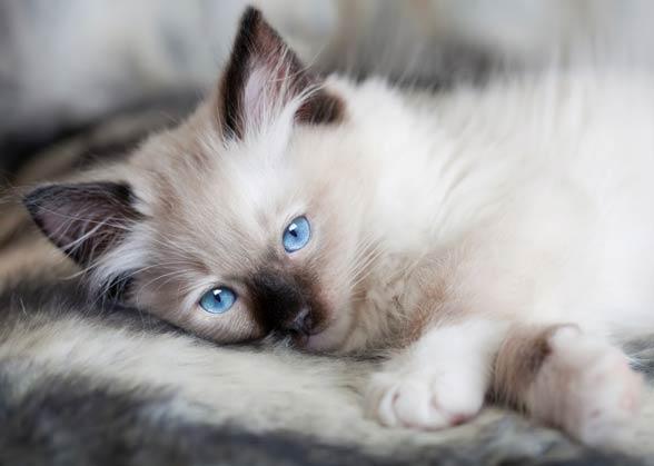 Kotě ragdolla