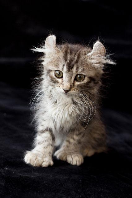 Kotě amerického curla