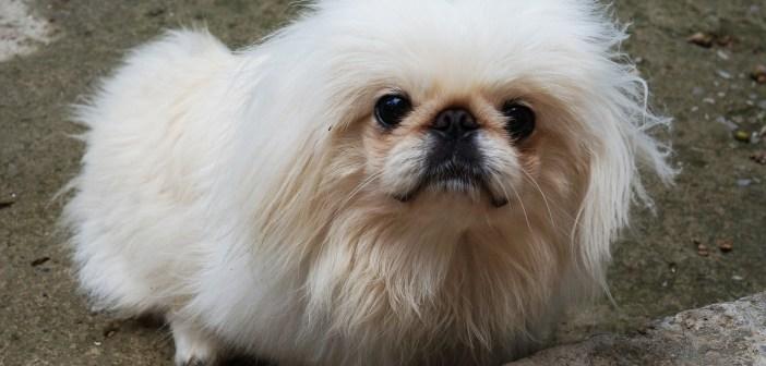 Pekingský palácový psík někdy nazývaný jako rukávcový pes