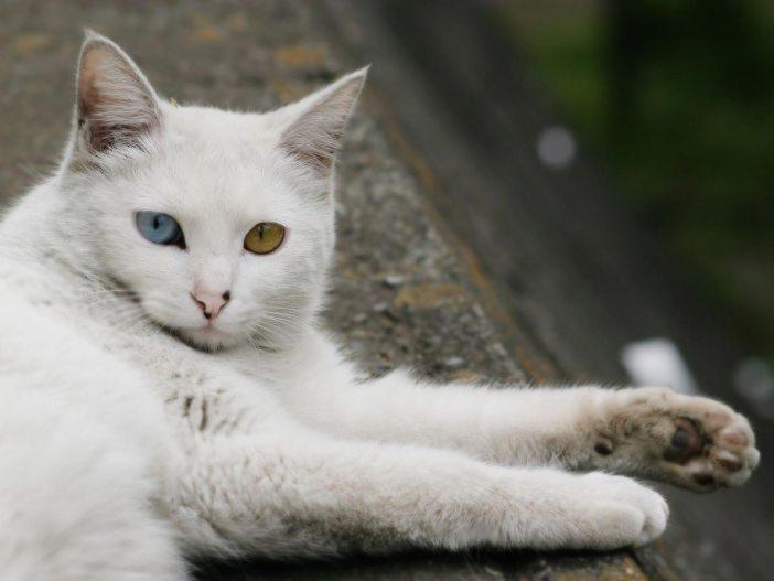 Bílá turecká angora