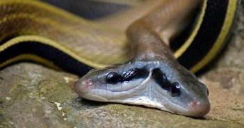 jaký druh jedovatých hadů není pro chov