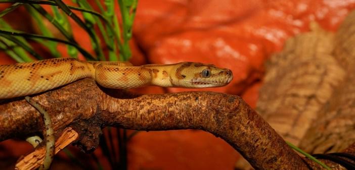 Krajta kobercová – australský had vhodný i pro začátečníky