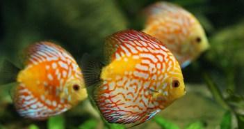 Nejčastější parazitární onemocnění napadající akvarijní ryby