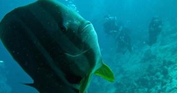 Netopýrník obecný – akvarijní rybička zářící výjimečností